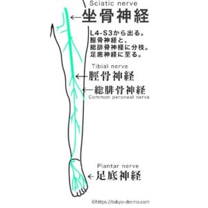 坐骨神経のメカニズム