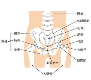 骨盤と股関節の構造
