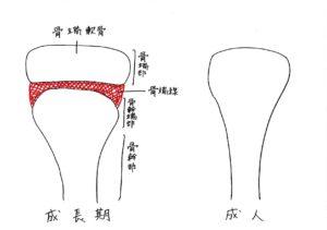 成長期と成人の骨構造の違い